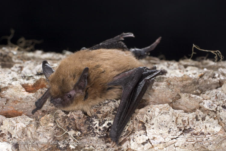 Bats in the Central Valley